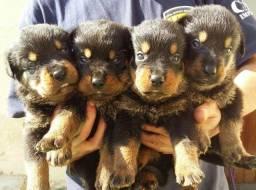Cabeça De Touro Padrão Alemão Robusto E Imponentes Rottweiler Filhotes