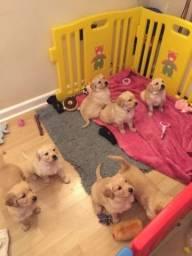 Golden Retriever filhotinhos com pedigree e garantias de saúde!