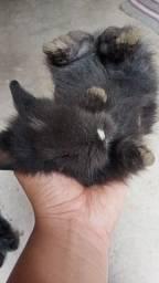Título do anúncio: Filhotes de mini coelho lion