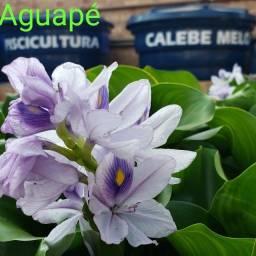Aguapé, planta aquática 4 mudas por R$ 10,00