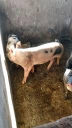 Título do anúncio: Vende-se porco caipira