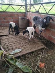 Título do anúncio: Vendo animais carneiro, ovelha e um casal de bode e cabra