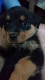 Vende-se cachorro rottweiler