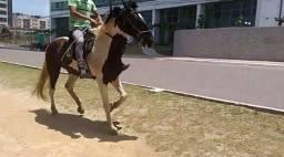 Vendo cavalo Campolina Marchador (Pampa de preto)