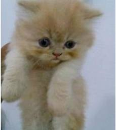 Gatinhos persas, puro
