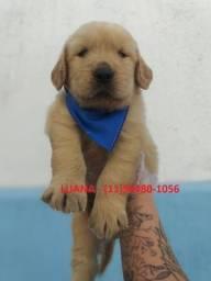 Golden Retriever, adquira conosco e tenha garantias e suporte veterinário *