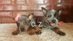 Boiadeiro Australiano (Australian Cattle Dog). Com pedigree