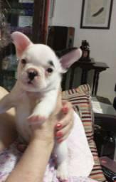 Bulldog Francês Machinho disponível