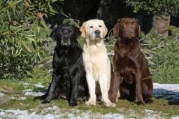 Labrador - Disponivel