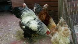 Ovos galados galinhas Brahma