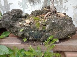 Vendo bonsai de ficús muito bonito preço no whatsapp