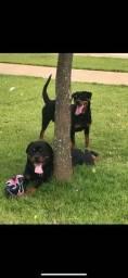 Vendo casal de Rottweiler
