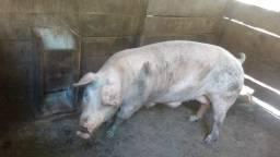 Vendo porca prenha