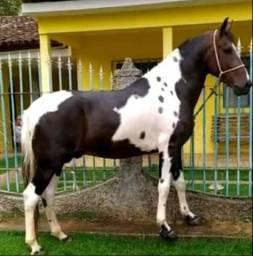 Título do anúncio: Cavalo registrado