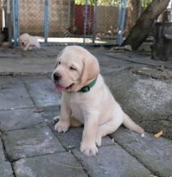 Filhotes de Labrador lindos
