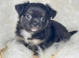 Filhote de Chihuahua barato