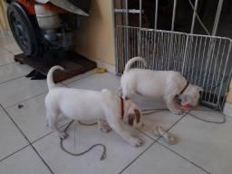 Filhotes de cães Pitbull