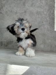 Cachorro mistura de Yorkshire terrier
