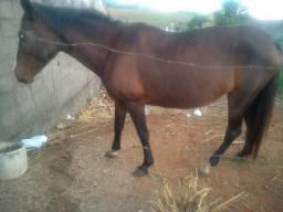 Vendo ou troco egua criola macha picada. pra criar 5 meses de um pampa