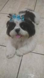 Shitzu 1 ano de idade fêmea