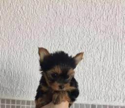 Yorkshire Terrier macho e femea