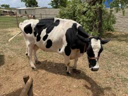 Vaca de leite
