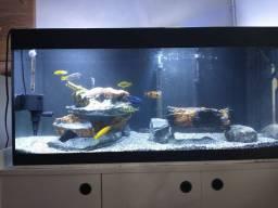 Vendo aquario montado de Ciclídeos africanos
