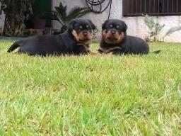 Vende-se Filhotes de Rottweilers com Pedigree (CBKB)