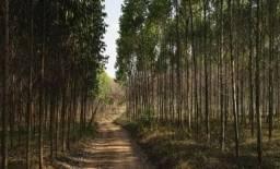 Plantação de eucalipto no sudoeste do Paraná