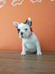 Bulldog francês super linda
