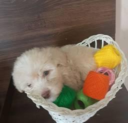 Poodles toy (todos machinhos)