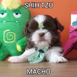 Shih tzu chocolate