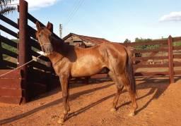 Potra manga larga,  égua, cavalo