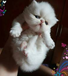Filhotes gato persa leia o anúncio
