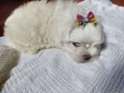 Duas fêmea raça maltês branca neve ja  disponível para venda Baby face