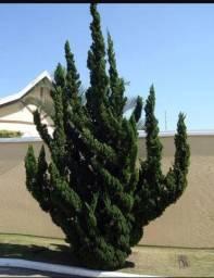 Pinho kaizuka/ lindo pinheiro Natal