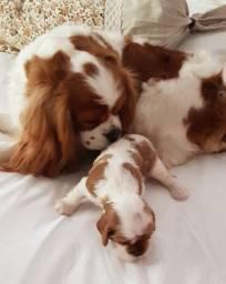 Cavalier King Charles Spaniel, cão de companhia