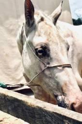 Cavalo( potro) qm / apaloosa