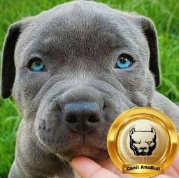 Filhotes de American Bully Blue Nose C Entrega G.R.A.T.I.S - Pitbull