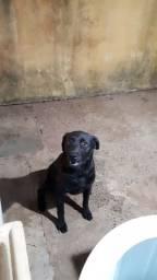 Vendo labradora 3 anos Chapada dos Guimarães