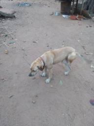 Estou doando uma cachorra lavradora um ano e oito meses muito docea para sitio ou cidade