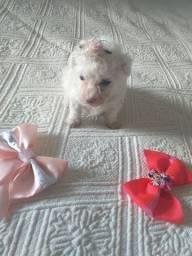 Vendo uma linda poodlei