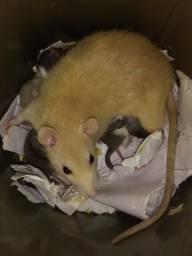 Camundongo e neonato e rato Twister