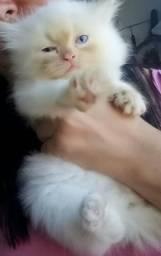 Gato persa do himalaia