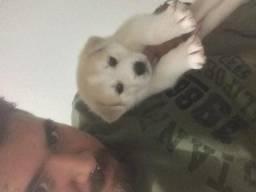 Vendo Husky Siberiano femea e macho -leia a descrição