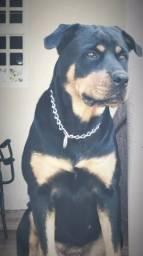 Venda filhote Rottweiler