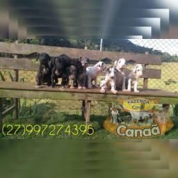 Filhotes de Dogue Alemão-Canil Canaã (27)997274395
