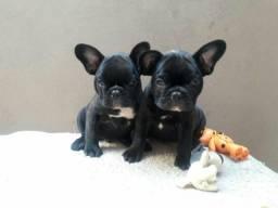 Bulldog francês fêmea vacinada e desverminada!!!