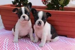 Bulldog Francês femea ja vacinada e vermifugada