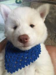 Husky Siberiano wooly macho (cartão)